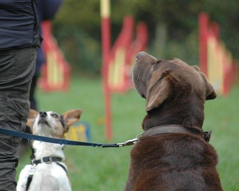 Adult Dog Training Somerset